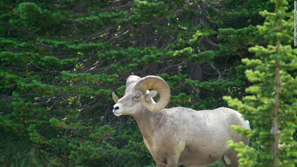 Bighorn rams use their horns to batter each other in competition for mates.