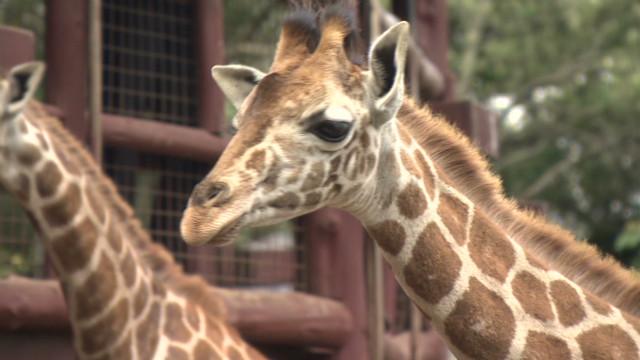 inside africa kenya giraffe conservation c_00025610