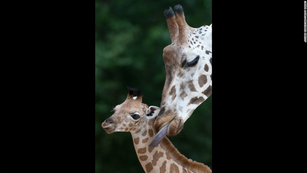 A Rothschild giraffe calf is groomed by its mother Shahni on Thursday at the zoo in Hanover, Germany. The calf was born June 5.