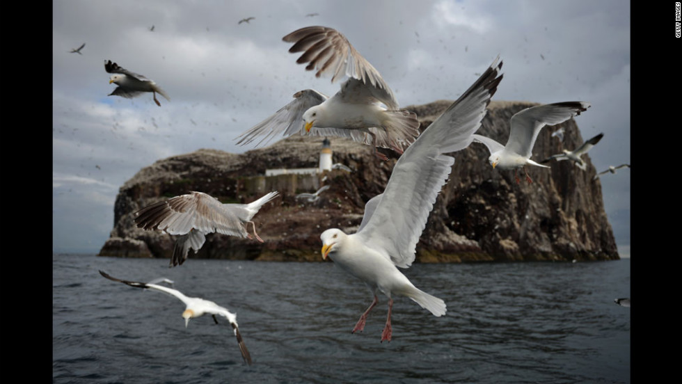 Seagulls fly Monday near Bass Rock, where gannets nest by the thousands on the Firth of Forth in Dunbar, Scotland.