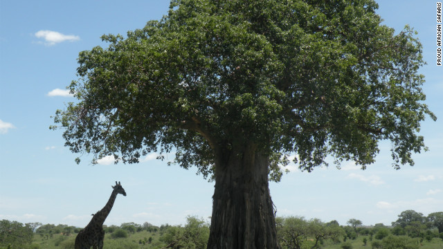 Tarangire National Park is famous for its baobab trees.