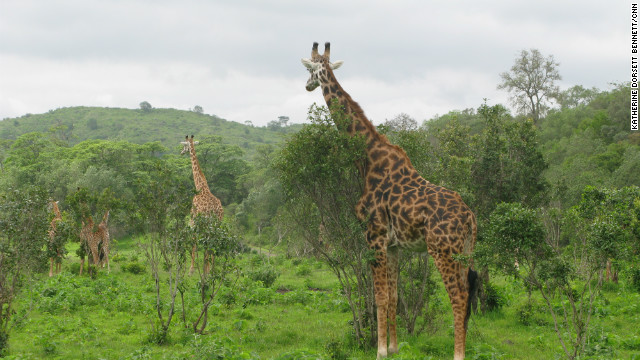 Arusha National Park has a large variety of wildlife, including giraffes.