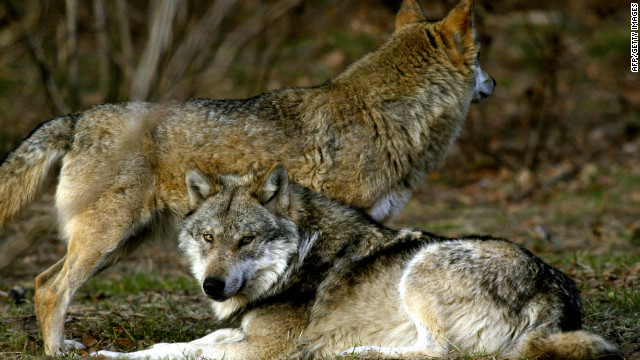 The attack happened during a routine visit to the wolves' enclosure. (File)