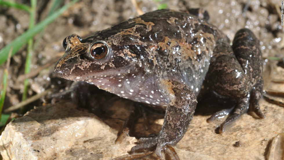 "This rediscovered frog, which can be found in Lake Huma, Israel, is classified as ""critically endangered."" Amphibians make up the largest number of species in danger, with 41% threatened with extinction."