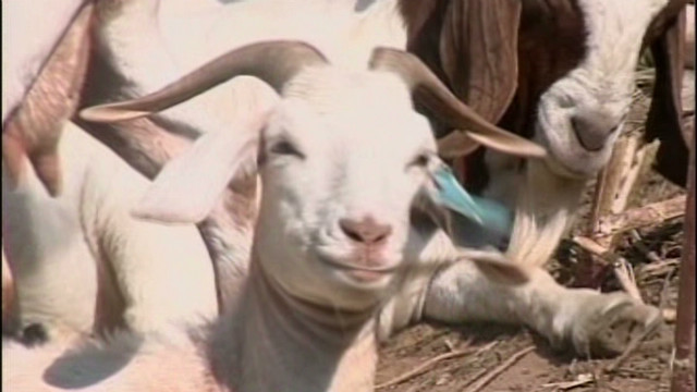 How to save government money: Goats!