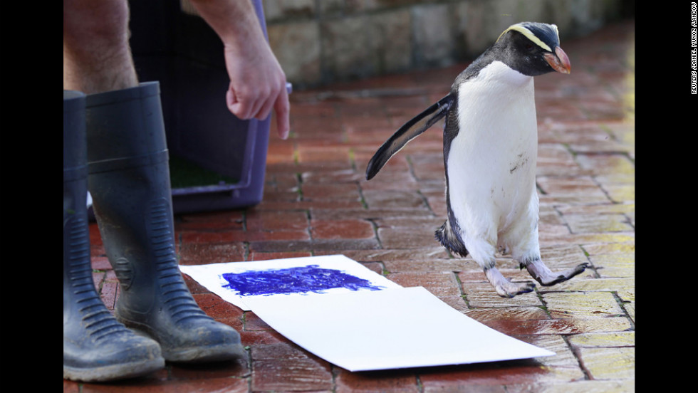 A penguin named Mr. Munro fails in his first attempt to leave his footprint on a white canvas Wednesday at Taronga Zoo in Sydney, Australia. Keepers have been collecting the footprints of almost 4,000 animals for a fundraising effort.