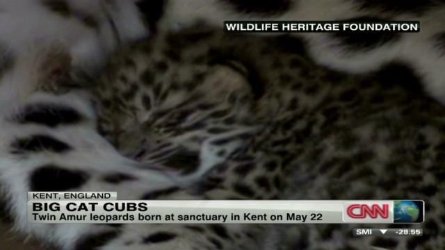 intv amur leopard cubs jones_00031102