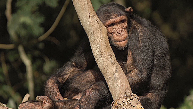 south africa chimp attack nkepile mabuse_00000519