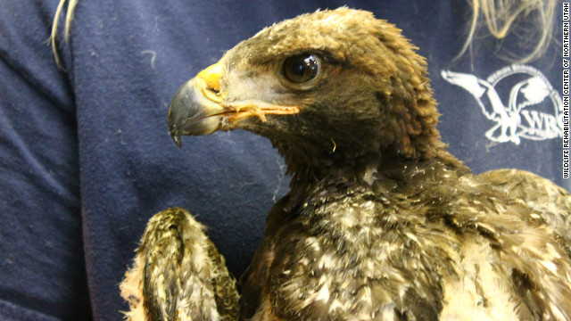 Baby golden eagle survives wildfire