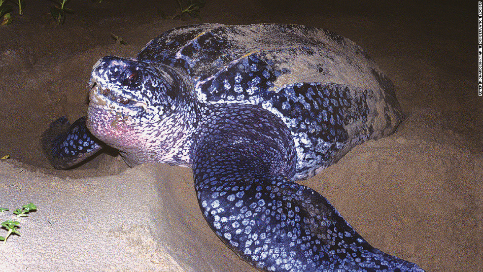 "Peter Richardson from the <a href=""http://www.mcsuk.org/"" target=""_blank"">Marine Conservation Society</a> says some studies predict leatherback turtles could be extinct on America's West Coast within 10-15 years."