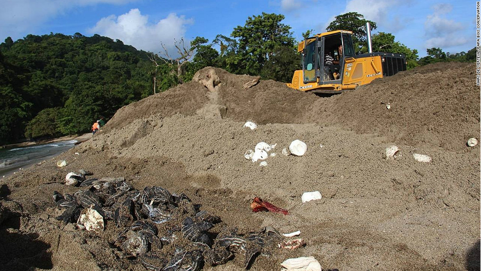 Bulldozers have crushed hundreds of turtle hatchlings and eggs on Trinidad's north coast.