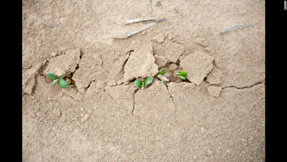 Soybean seedlings push their way through dry soil in Skelton, Indiana, on July 12.