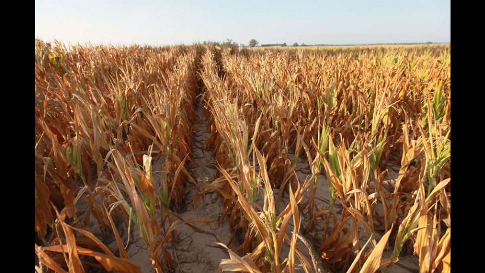Brown and dry, a field of corn sturggles to survive drought conditions near Uniontown, Kentucky, on July 16.
