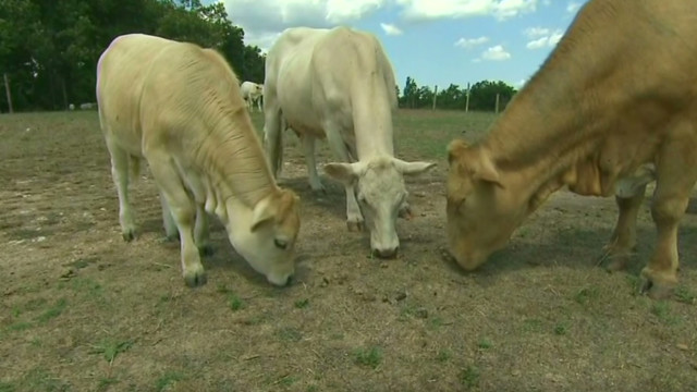 Drought forces farmers to sell cattle