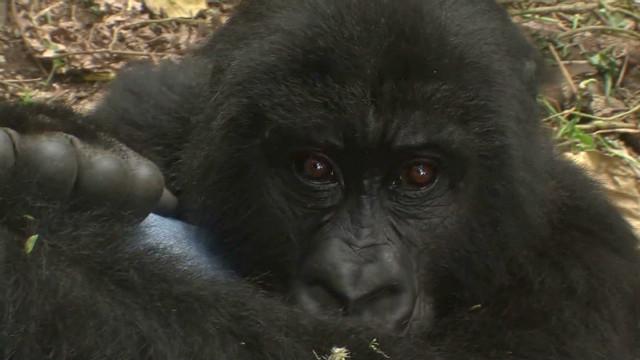 mckenzie congo gorillas under threat_00022113