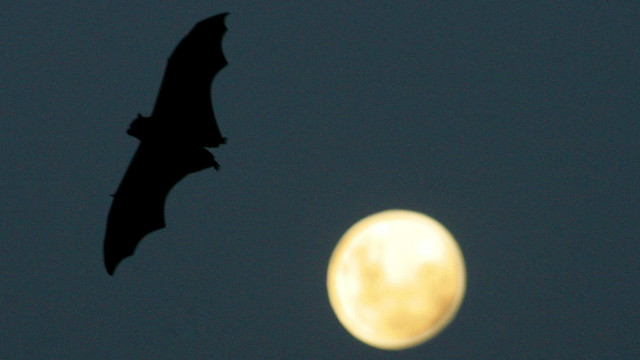 A Grey-Headed Flying Fox flies past a rising full-moon