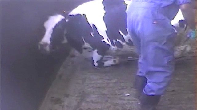 Advocacy group: Cattle tortured in video