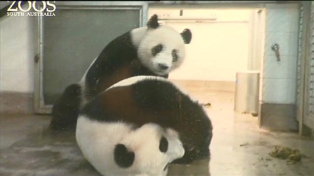 panda mate australia_00000205