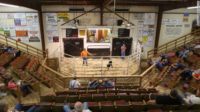 The Norwood Producers Auction has seen an unprecedented rate of dairy cattle being sold, many of them to slaughter.