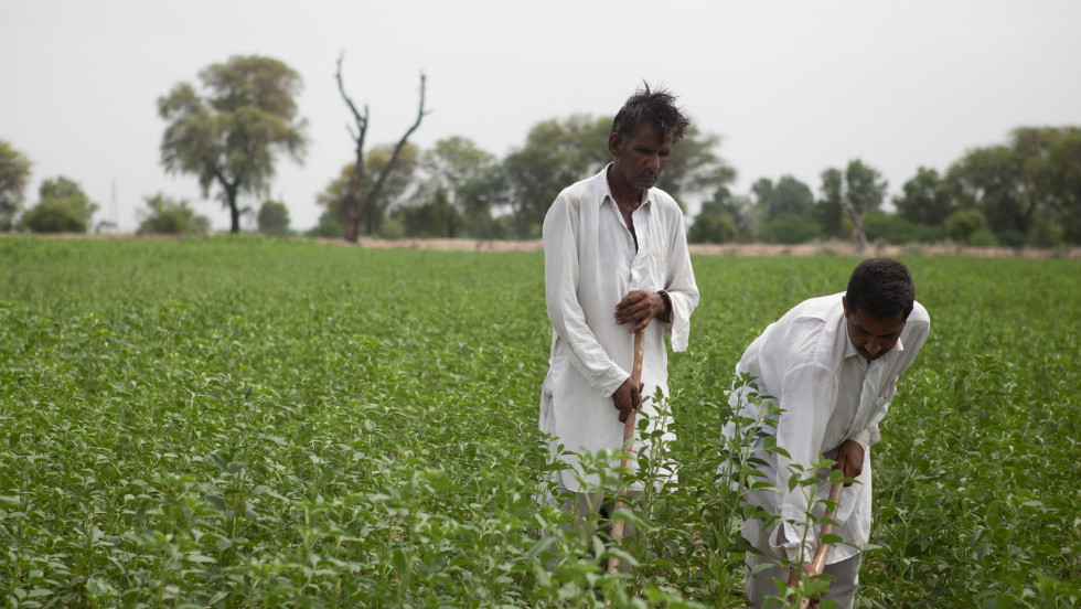 Farmer Rajinder Kumar at work in his guar field. Guar is a desert crop that thrives in hot weather and needs little water.