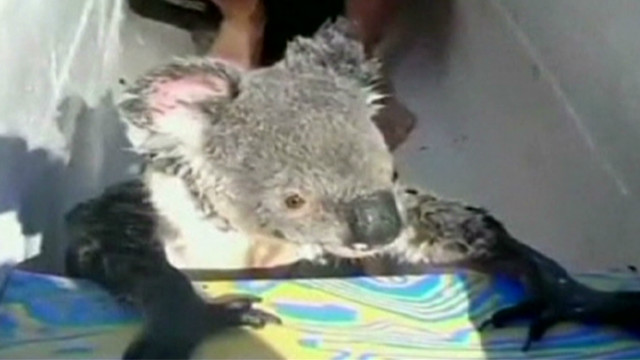 wr koala swims and climbs in canoe_00002402