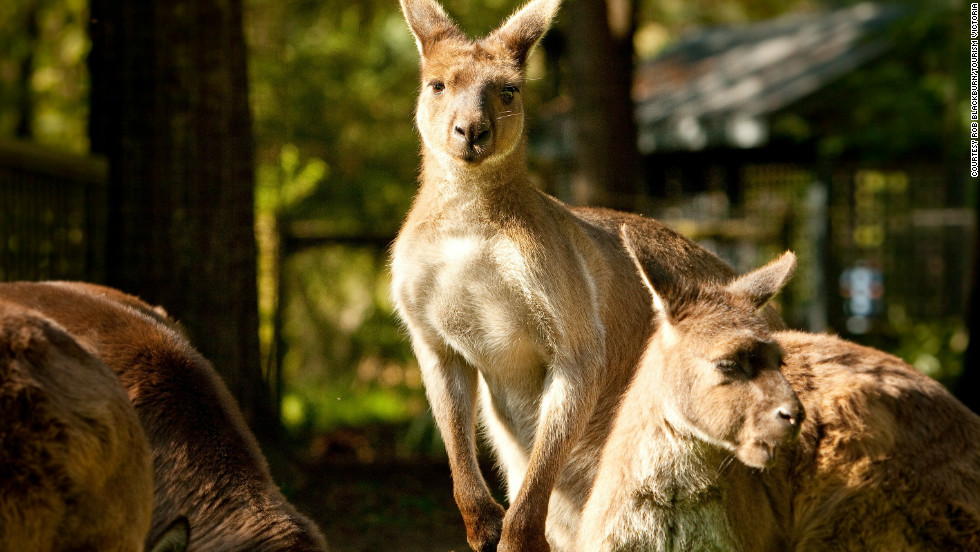 While you're there, don't miss the kangaroos.