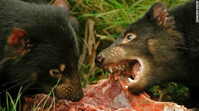 The population of Tasmanian Devils has declined by over 60% since the mid-1990s.