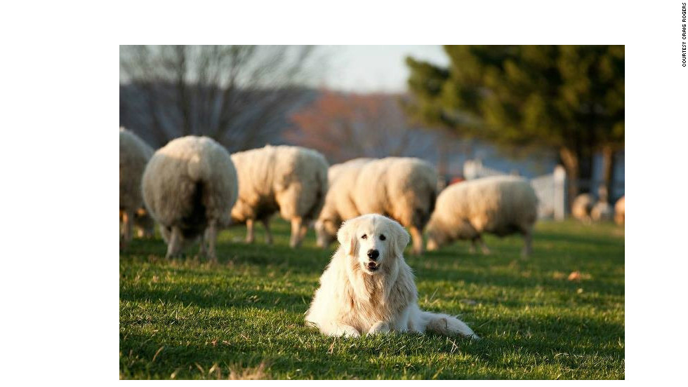 Drones as shepherds? Quadcopters could soon be replacing dogs as herders.