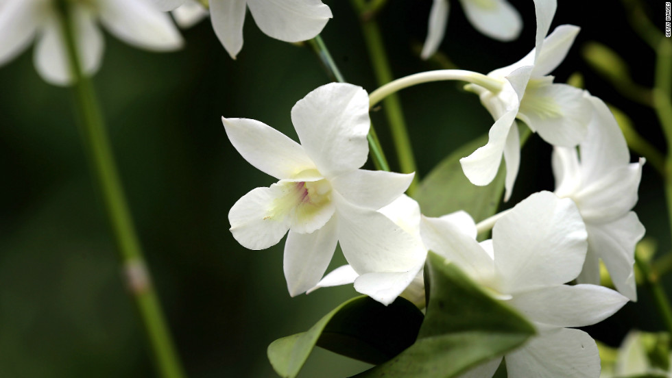 "The ""Dendrobium Memoria Princess Diana"" orchid was named in honor of Diana following her death in a 1997 car accident."