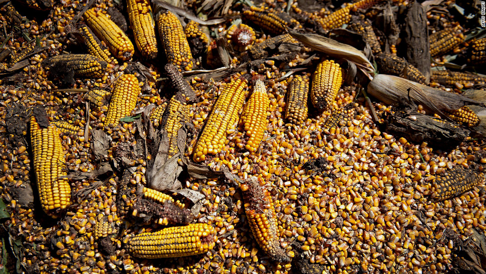 "The drought had a negative impact on corn in Le Roy, Illinois. Drought occurred in six Plains states between last May and August because moist Gulf of Mexico air ""failed to stream northward in late spring,"" and summer storms were few and stingy with rainfall, said a report by the National Oceanic and Atmospheric Administration."