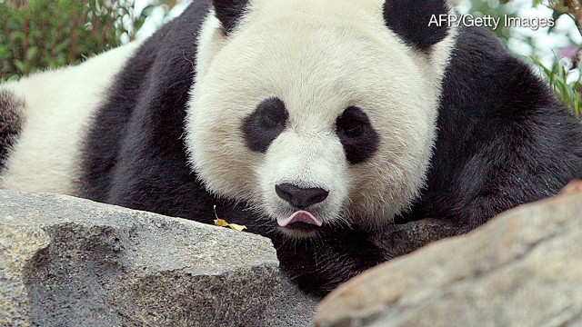 Giant panda gives birth
