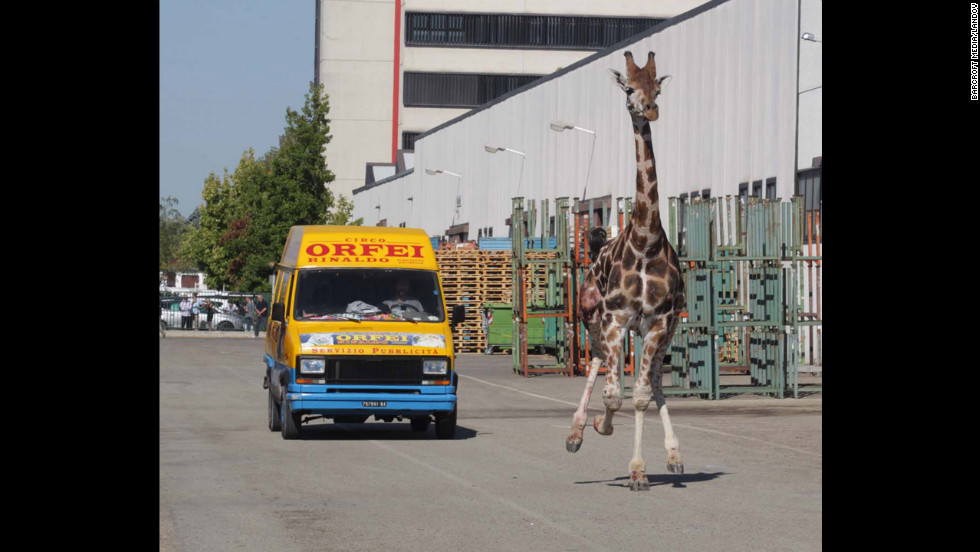 A van from the Rinaldo Orfei Circus pursues the giraffe down a street Friday in Imola.