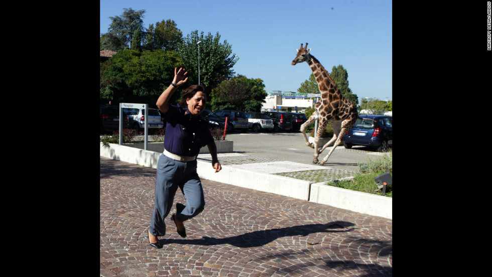 "A giraffe runs loose after escaping from the circus Friday, September 21, in Imola, Italy, southeast of Bologna. The animal kept its captors at bay for hours, damaging cars and startling bystanders, before police cornered it in a grocery parking lot, the state-run Italian news agency  ANSA reported. The giraffe later died of cardiac arrest after being returned to the Rinaldo Orfei Circus, ANSA said. <a href=""http://www.cnn.com/SPECIALS/world/photography/index.html"" target=""_blank"">See more of CNN's best photography</a>."