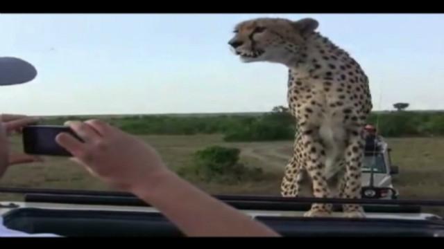 raw cheetah informe_00001502