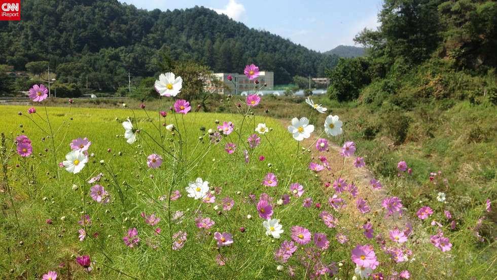 """The rice is almost ready to be harvested, the sun was shining, and there were lovely flowers blooming all along the road,"" said Michelle Park in Chuncheon, South Korea. <a href=""http://ireport.cnn.com/docs/DOC-846120"">She shot this photo</a> with her iPhone 4S."