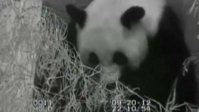 'Abnormalities' found in dead panda cub