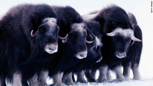 Rebecca Rimel and Dale Hall say animals like these Arctic muskoxen can be protected under a new oil and gas leasing plan.