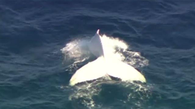 white whale_00002029