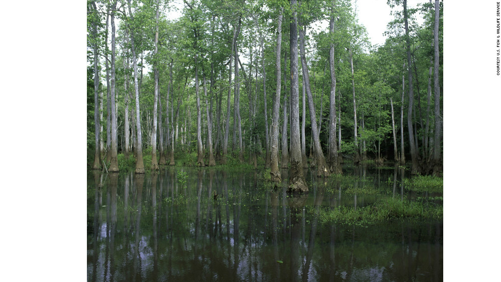 Only six miles outside of Macon, Georgia, Bond Swamp National Wildlife Refuge just added migratory bird and wild turkey hunting to its options. The refuge is located on a fall line between the Piedmont plateau and the coastal plains.