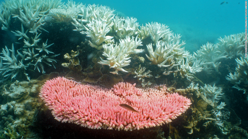 Coral bleaching -- seen here at Halfway Island -- occurs when the water becomes too warm. It's expected to increase in coming years due to global warming.
