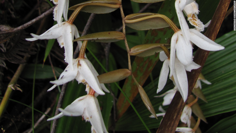 All told, about 3,500 DNA samples were collected from more than 1,400 species, including Calanthe woodii.