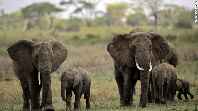 Elephants are among the abundant wildlife in Serengeti National Park