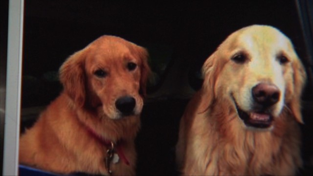 Retriever helps rescue its brother