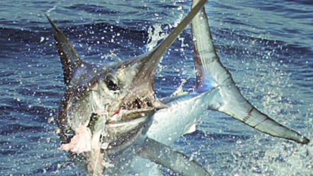 zarrella eco swordfish_00002524
