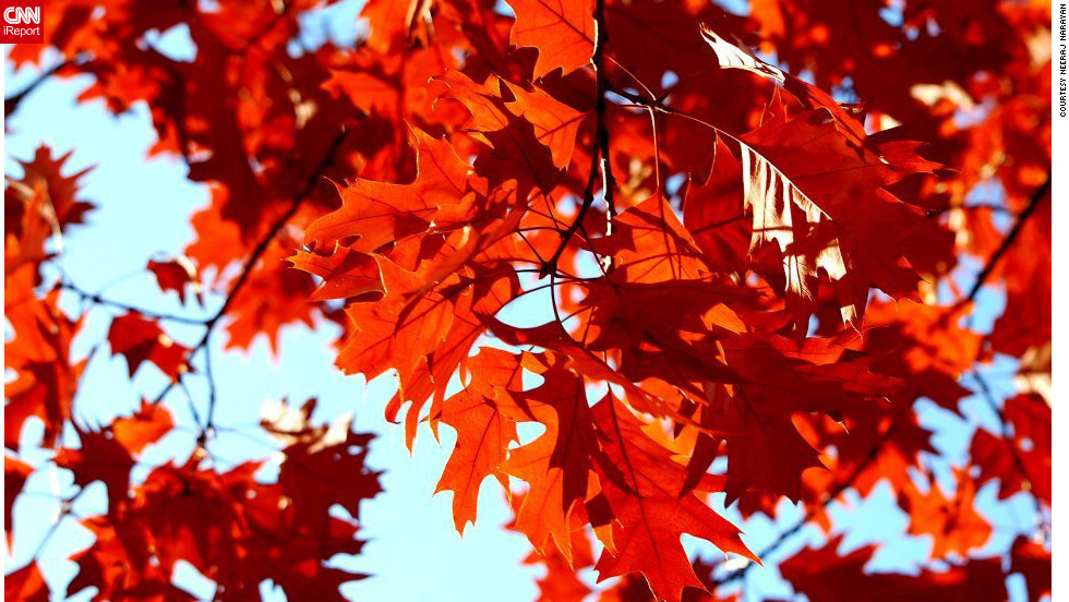 "Oak leaves turn a vibrant red in <a href=""http://ireport.cnn.com/docs/DOC-852701"">Beaverton, Oregon</a>."