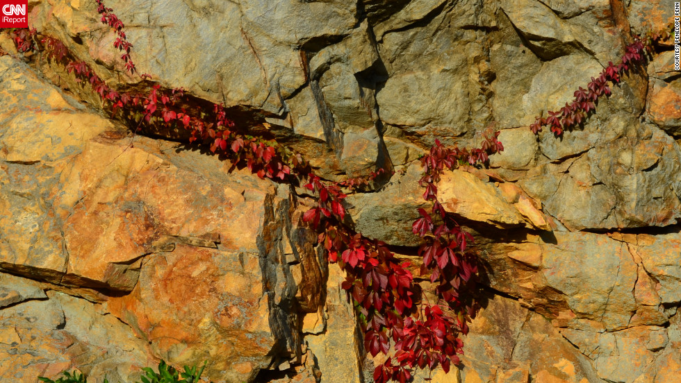 "Deep red Virginia Creeper stretches across a rock outside <a href=""http://ireport.cnn.com/docs/DOC-858299"">Roanoke, Virginia</a>."