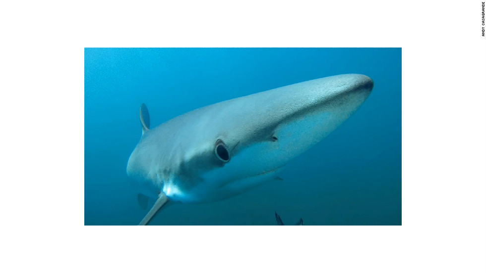 Andy Casagrande used GoPro cameras hidden in fake bait to capture footage of sharks.
