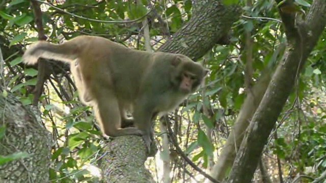 dnt monkey captured after three years_00003605