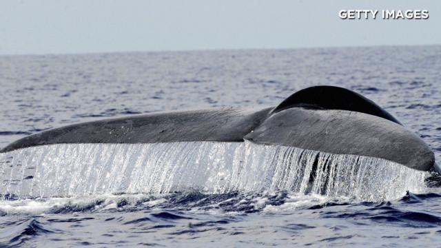orig asha de vos blue whales_00005211