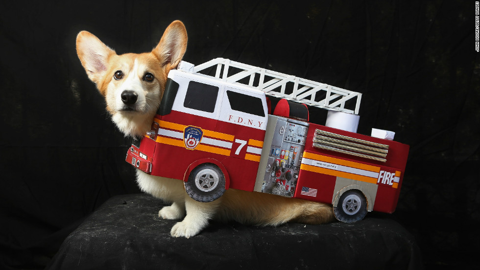 Harry, a corgi, poses as a fire truck at the Tompkins Square Halloween Dog Parade on October 20, 2012 in New York City.